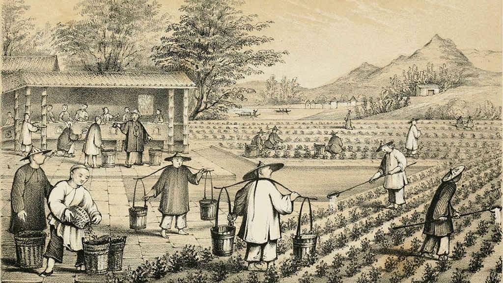 Развитие чайных традиций. Торговля чаем.