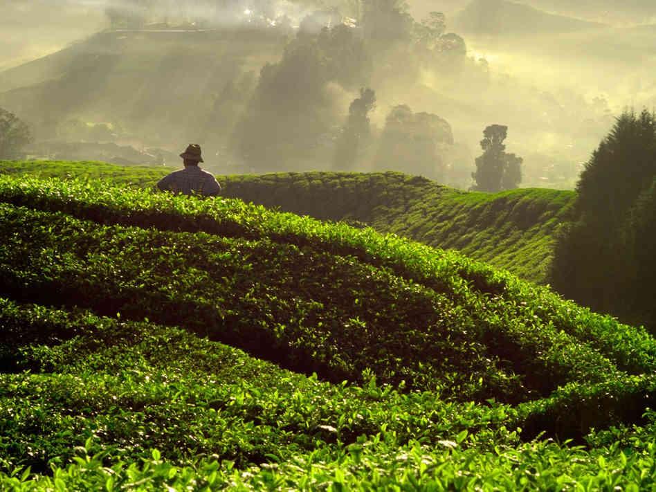 Сбор чая в китае, объёмы.