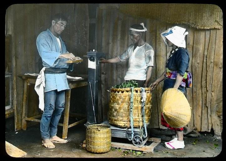 Технология производства чая в Японии.