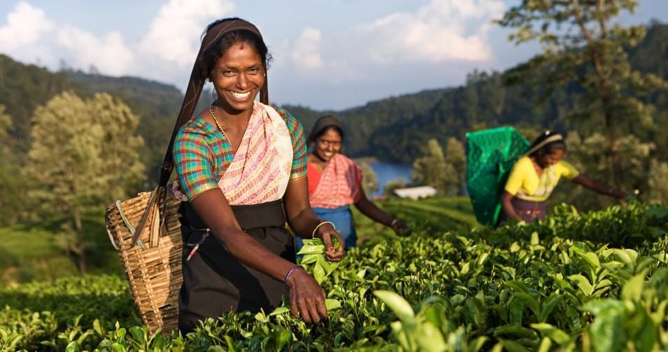 Чай в Юго-Восточной Азии, Индии и на Цейлоне.