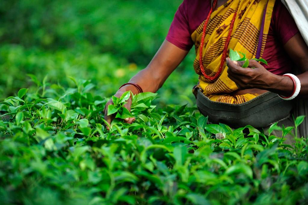Индийский и Цейлонский чай на русском чайном рынке.